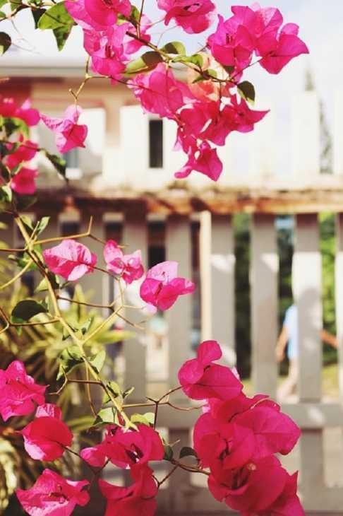 Bouganville in piccolo balcone