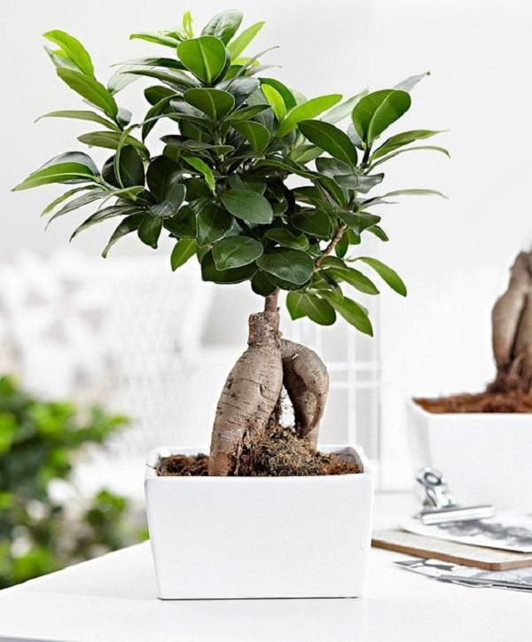 Ficus ginseng, da bakker.com