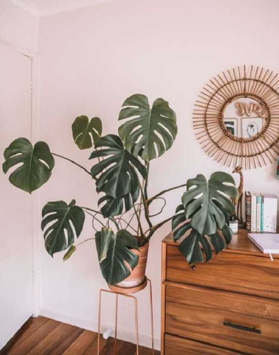 Monstera deliciosa, da connieandluna.com