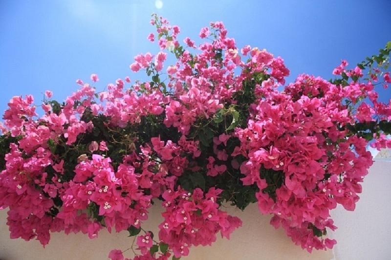Bouganville, tra i trend di home gardening