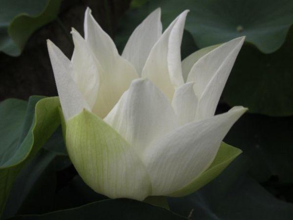Fior di loto Shirokunshi su Etabeta-ninfee.it