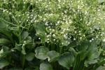 Piante palustri Alisma parviflora di Etabeta-ninfee.it
