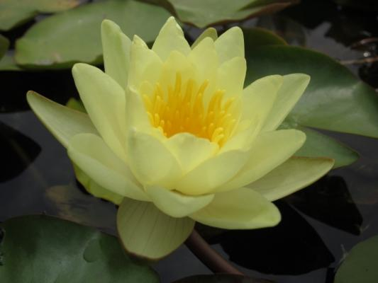 Ninfea pianta da laghetto Etabeta-ninfee.it