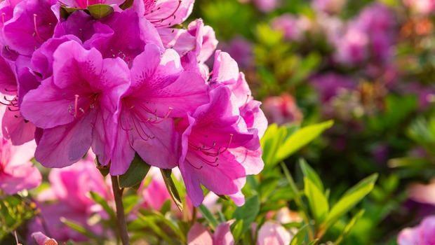 Come coltivare il rododendro in terra o in vaso