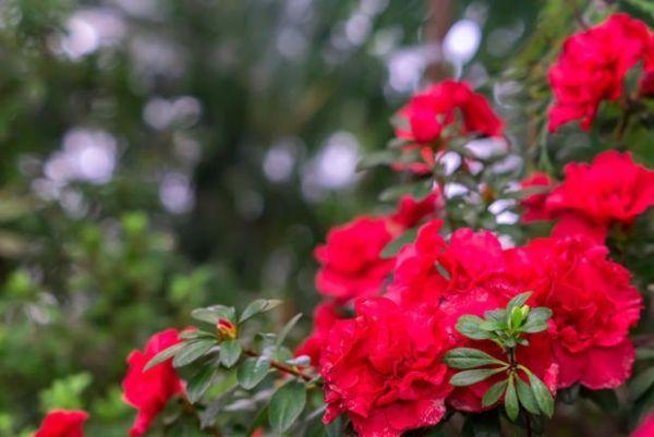 Azalea: pianta simile al rododendro