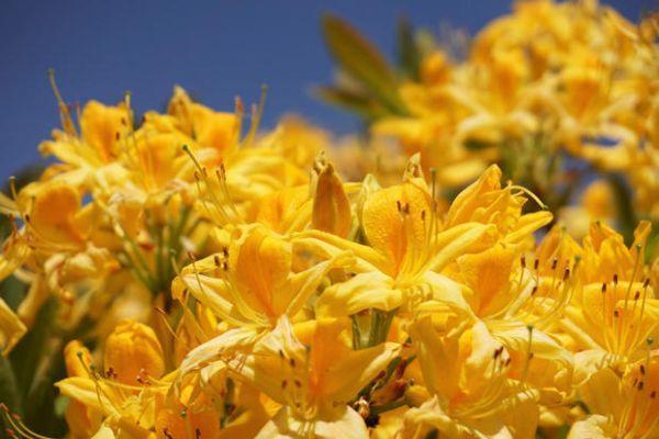 Rododendro  giallo