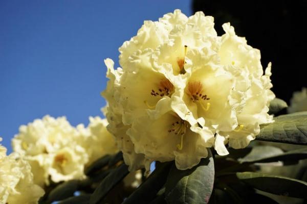 Rododendro fiorito