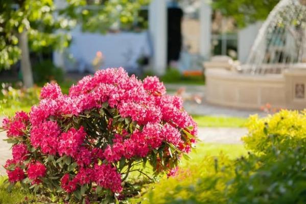 Azalea e rododendro