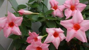 Dipladenia: pianta sempreverde con abbondante fioritura