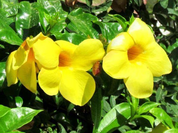 Dipladenia fiorita