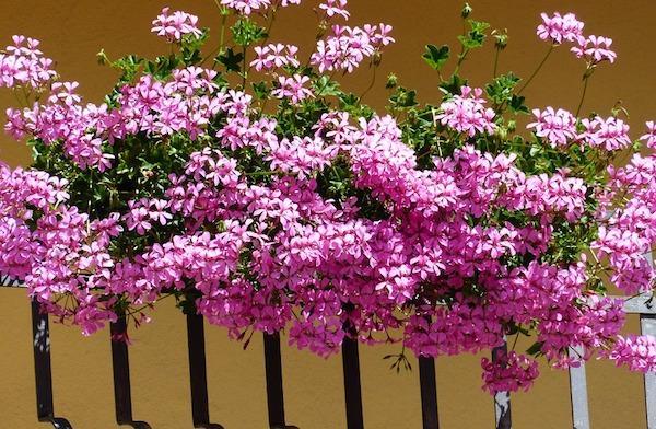 Gerani da balcone - nuance rosa chiaro