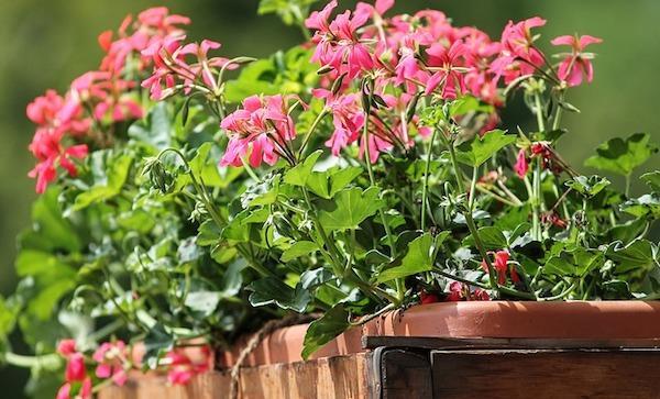 Gerani Parigini in fioriera rettangolare e portavaso in legno
