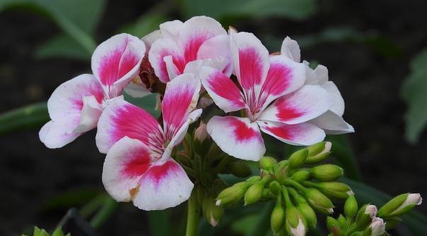 Pelargonium - Geranio Zonale