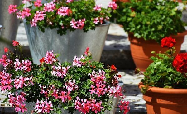 Soluzioni per la messa a dimora dei gerani: vasi e contenitori