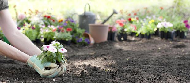 Coltivare la Pervinca in piena terra