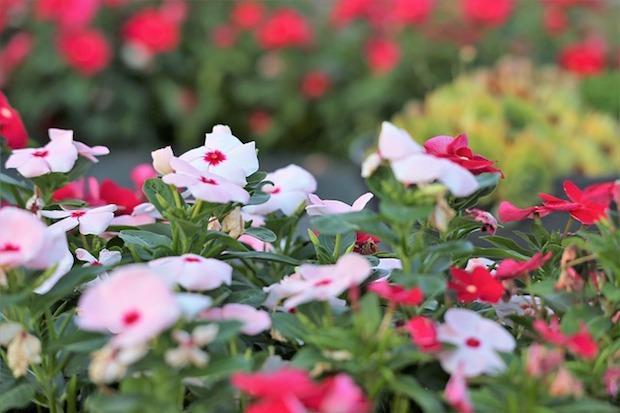 Pervinca coltivazione in giardino