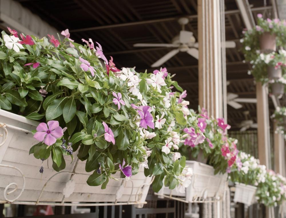 Vasi con fiori di Vinca colorati