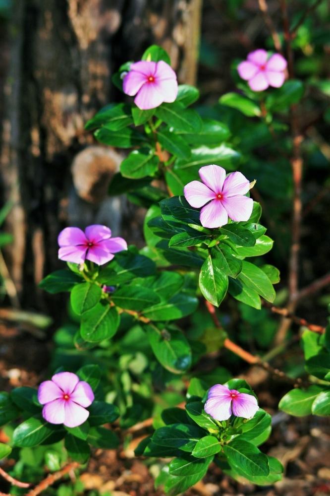 Vinca con fiori dal colore rosa