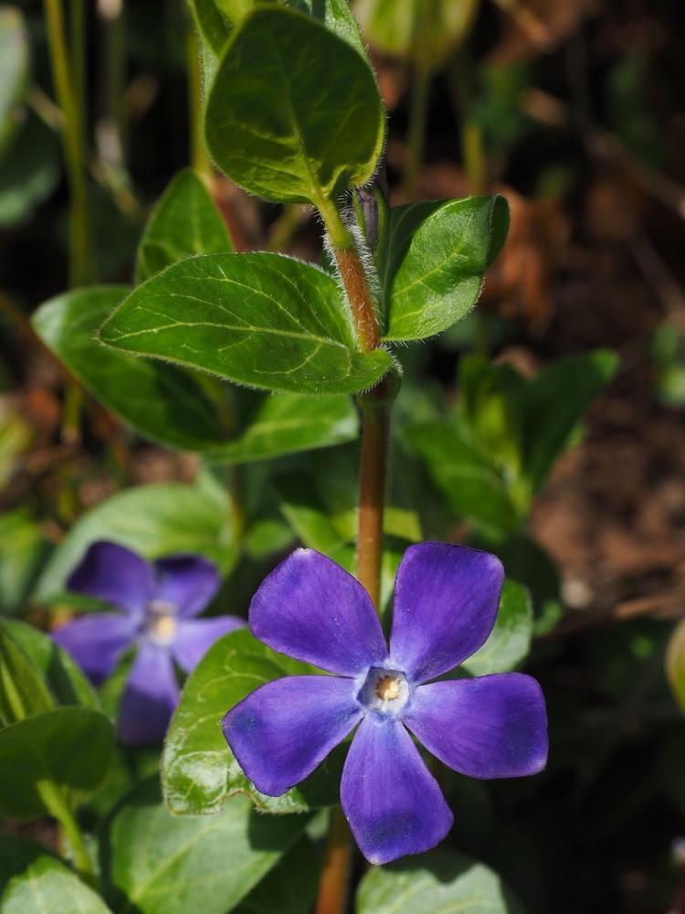 Pervinca con fiori dal colore blu intenso