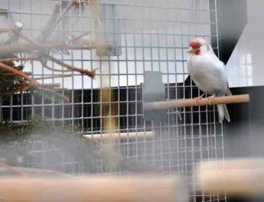 Voliera con posato per uccelli indigeni - VPL