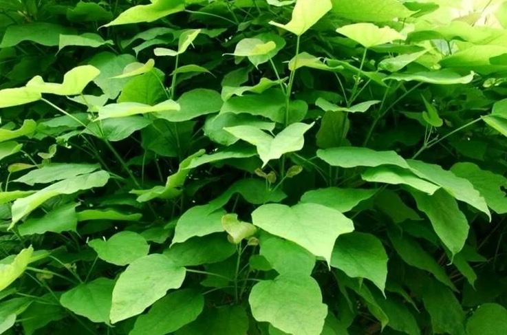 Catambra, la migliore pianta antizanzara