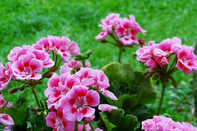 Geranio: fiori repellenti antizanzare
