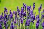 Lavanda, piante antizanzare dal profumo intenso