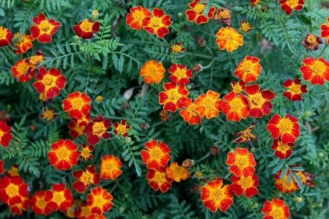 Calendula, la pianta antizanzare dalle mille proprietà
