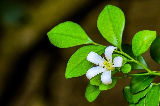 Incenso, fra le piante antizanzare più efficaci