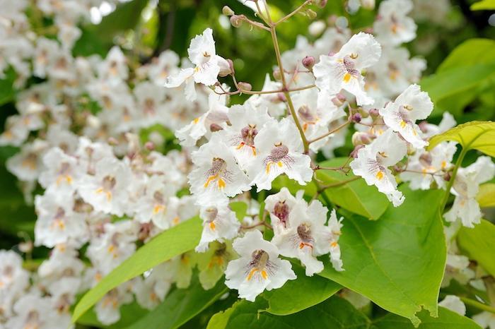 Catalpa, perfetta per il giardino e come pianta antizanzara