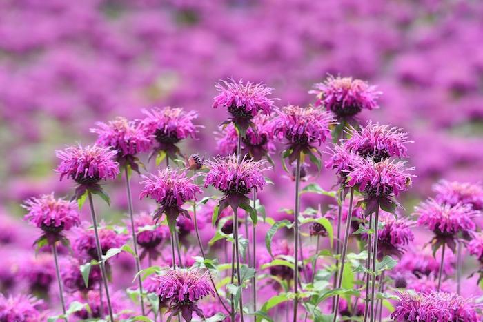 Monarda, fiori colorati e repellenti contro le zanzare