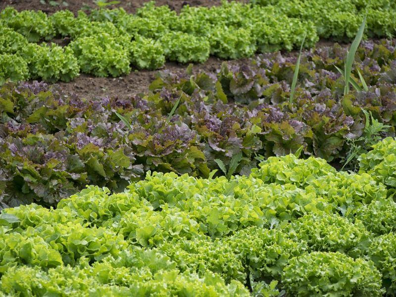 Coltivazione biologica dell'orto