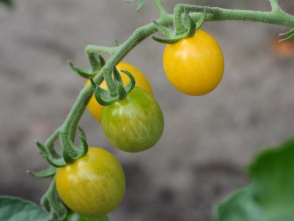 Pomodori gialli a grappolo