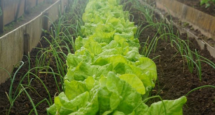 Piante da seminare e raccogliere in estate: insalata ed erba cipollina