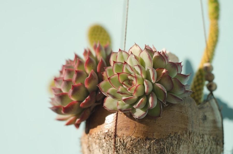 Echeveria: succulente a forma floreale in vaso sospeso