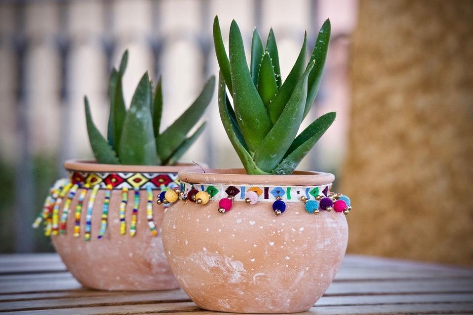 Coltivazione in vaso dell'Aloe