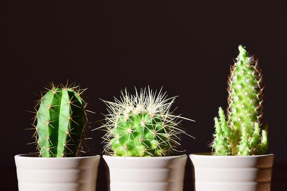 Varietà di succulente cactacee