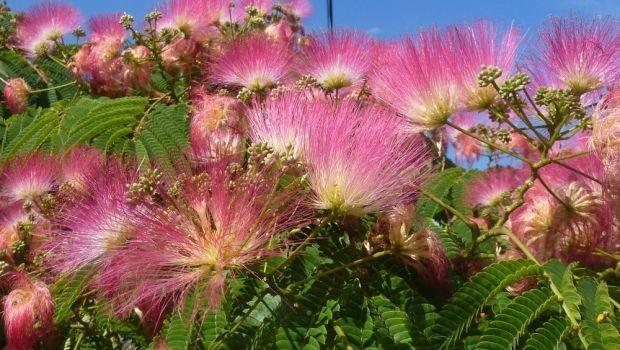 Jacaranda e Albizia, alberi esotici per dare colore al giardino