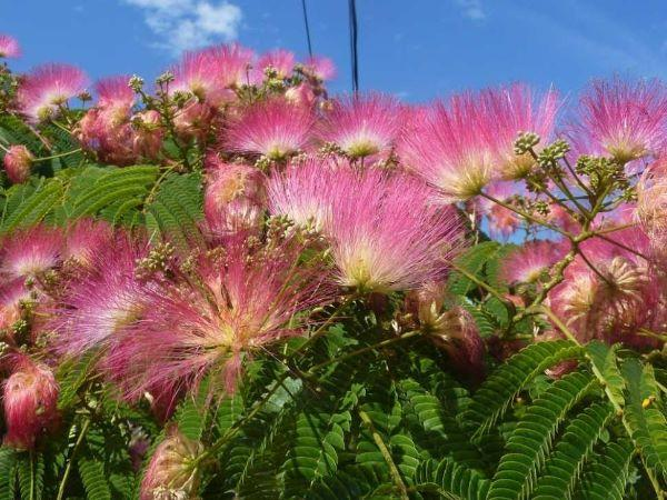 Albizia fiorita