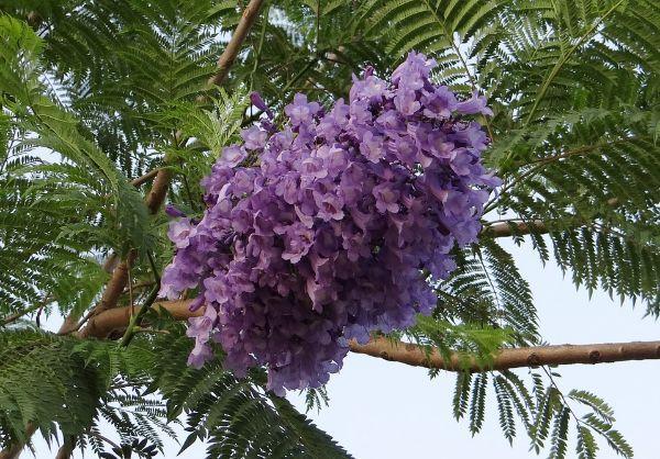 Fioritura dell'albero di Jacaranda