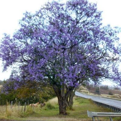 Jacaranda: pianta dai fiori viola