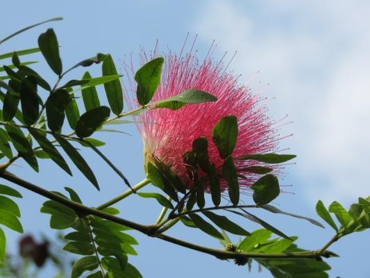 Fiori rosa di Acacia di Costantinopoli
