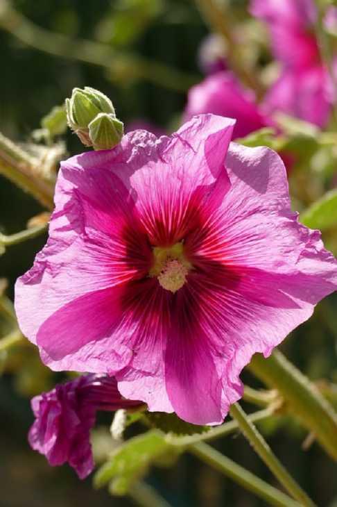 Belli i fiori secchi di alce rosea