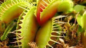 Piante carnivore: caratteristiche e specie adatta alla coltivazione in casa