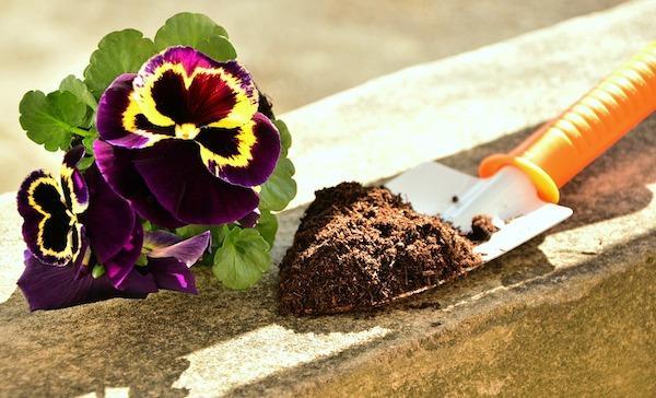 Coltivazione autunnale Viola del Pensiero: preparazione del terreno