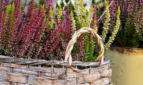 Fiori da coltivare in autunno: Erica Calluna