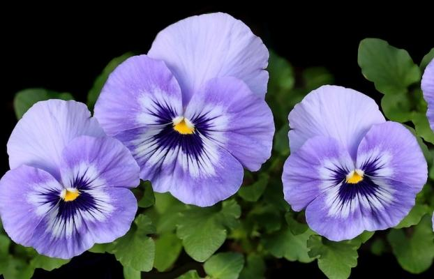 Fiori da coltivare in autunno: Viola del Pensiero