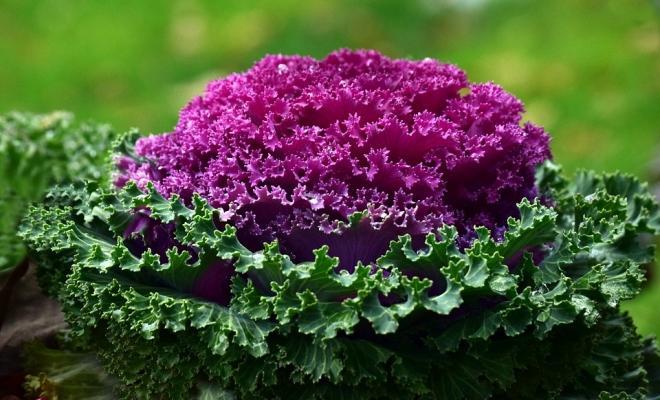 Piantare i cavoli ornamentali in autunno per dare colore al giardino