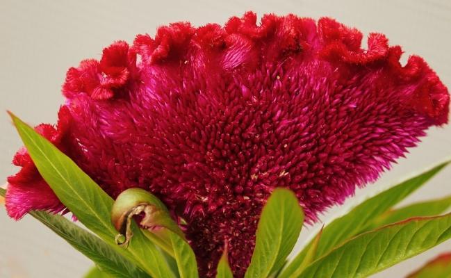 Fiori di settembre: Celosia cresta di gallo