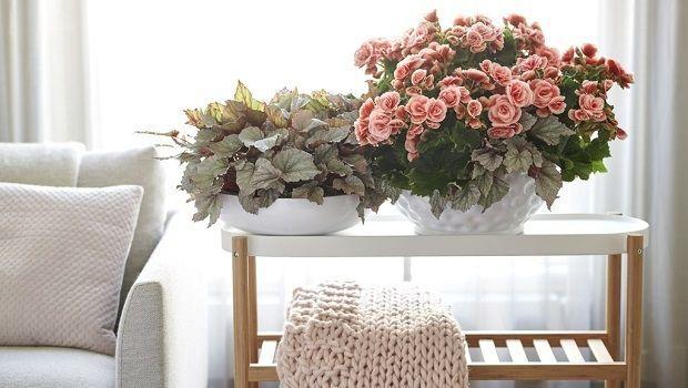 Begonia Elatior: consigli per la coltivazione indoor